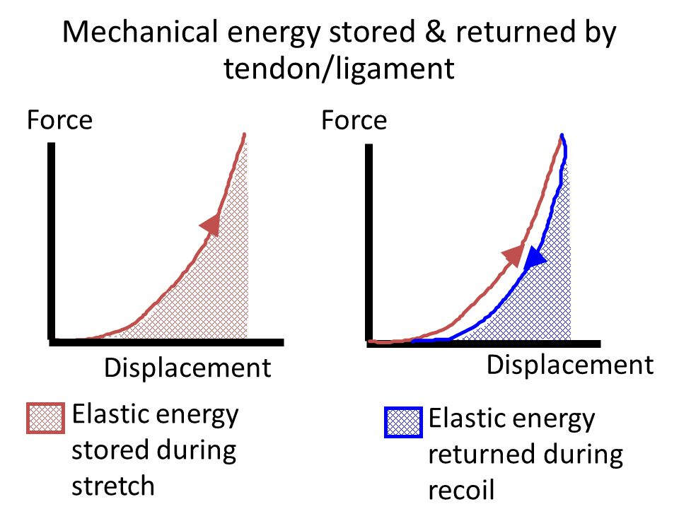 Elastic energy returned during recoil Mechanical energy stored & returned by tendon/ligament Force Displacement Force Displacement Elastic energy stored during stretch