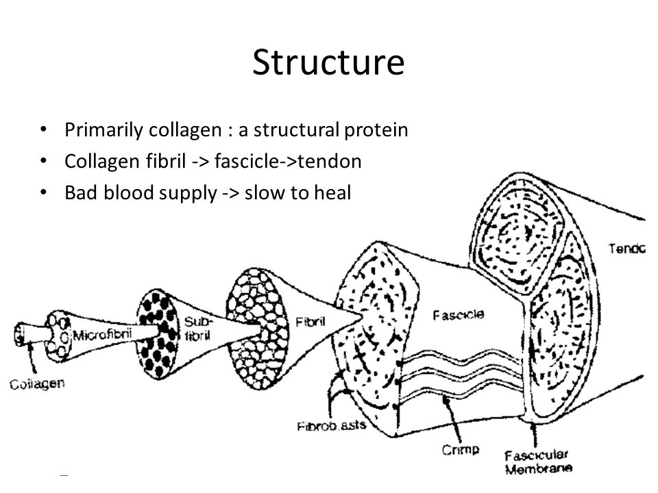 Structure Primarily collagen : a structural protein Collagen fibril -> fascicle->tendon Bad blood supply -> slow to heal