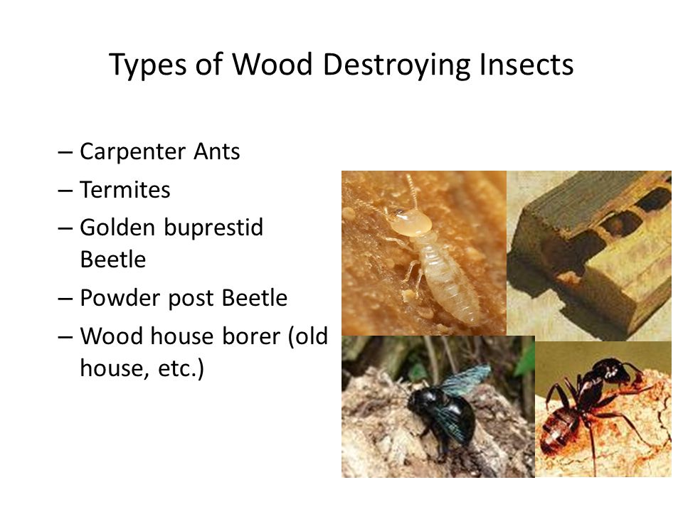 Types of Wood Destroying Insects – Carpenter Ants – Termites – Golden buprestid Beetle – Powder post Beetle – Wood house borer (old house, etc.)