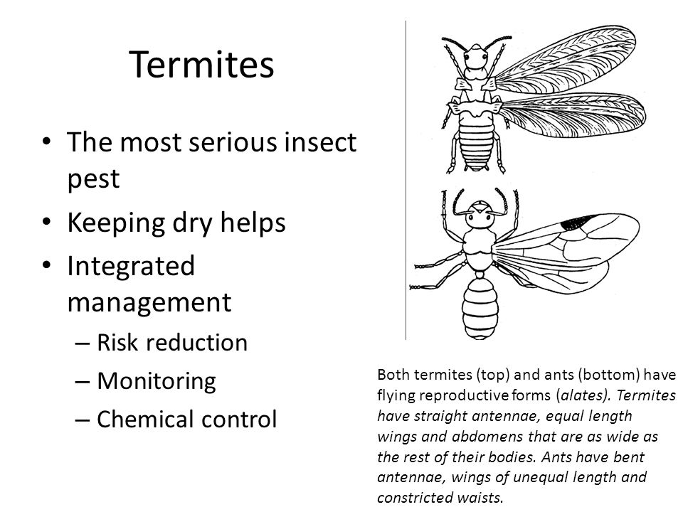 Termites The most serious insect pest Keeping dry helps Integrated management – Risk reduction – Monitoring – Chemical control Both termites (top) and