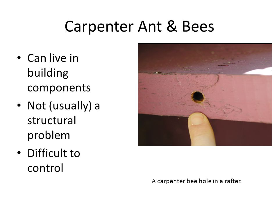 Carpenter Ant & Bees Can live in building components Not (usually) a structural problem Difficult to control A carpenter bee hole in a rafter.