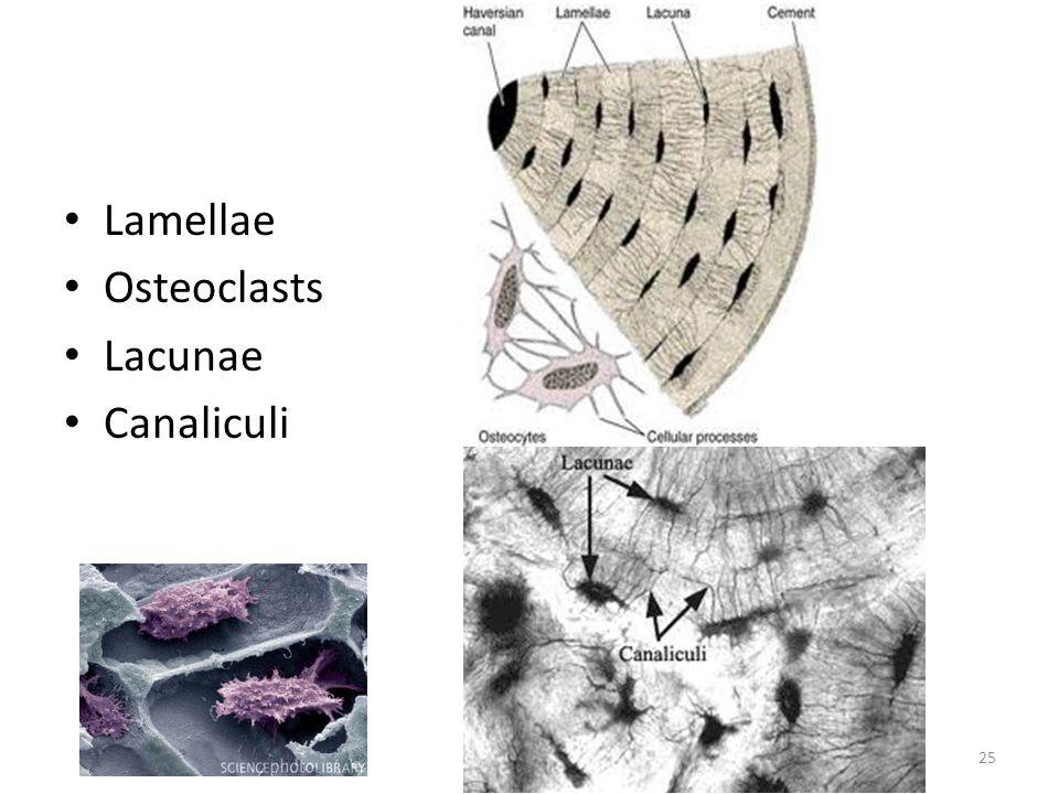 Lamellae Osteoclasts Lacunae Canaliculi 25