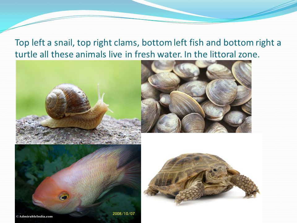 Top left a snail, top right clams, bottom left fish and bottom right a turtle all these animals live in fresh water. In the littoral zone.