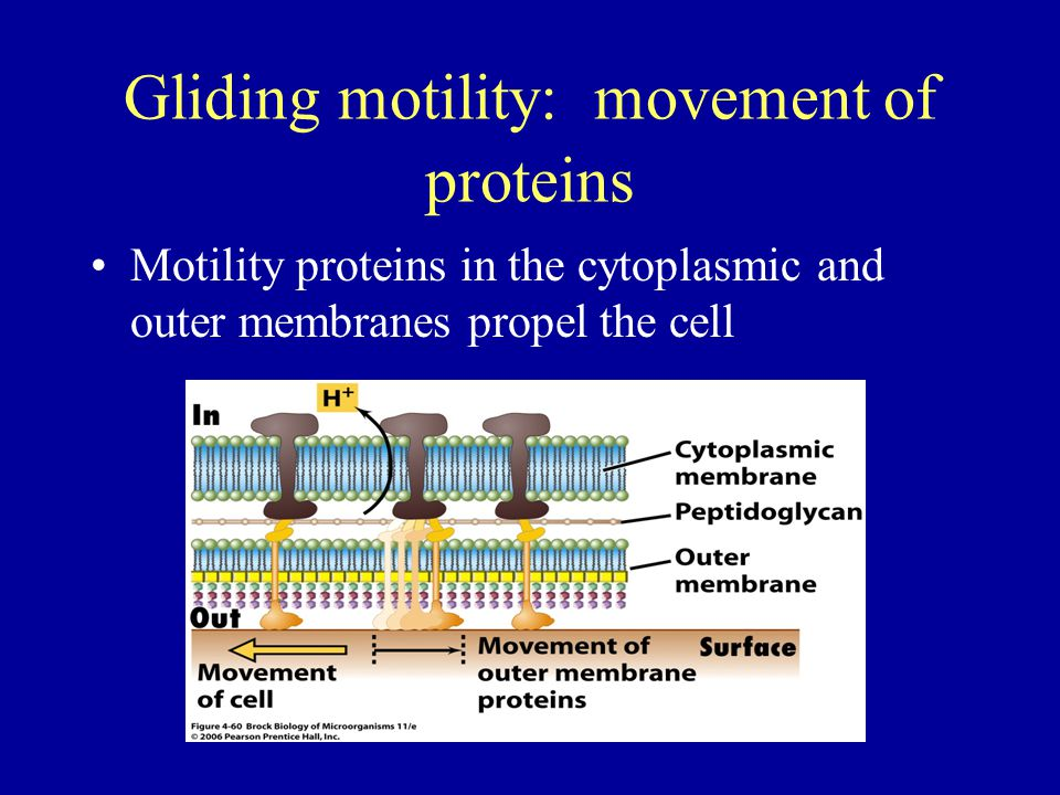 Gliding motility: movement of proteins Motility proteins in the cytoplasmic and outer membranes propel the cell