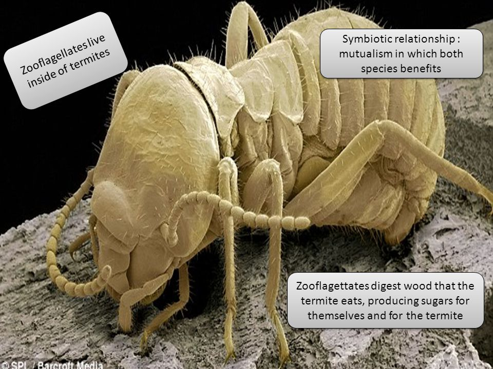 Zooflagellates live inside of termites Zooflagettates digest wood that the termite eats, producing sugars for themselves and for the termite Symbiotic relationship : mutualism in which both species benefits