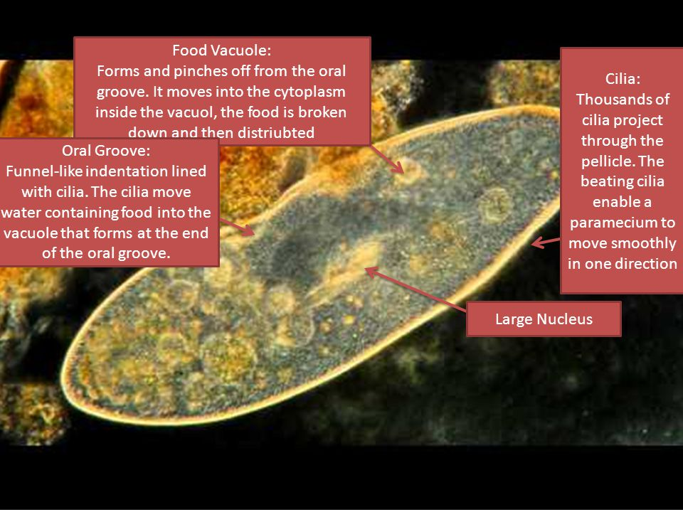 Large Nucleus Food Vacuole: Forms and pinches off from the oral groove.