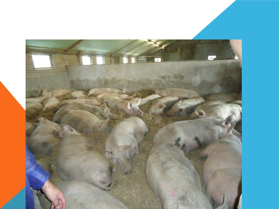 PIG PRODUCTION