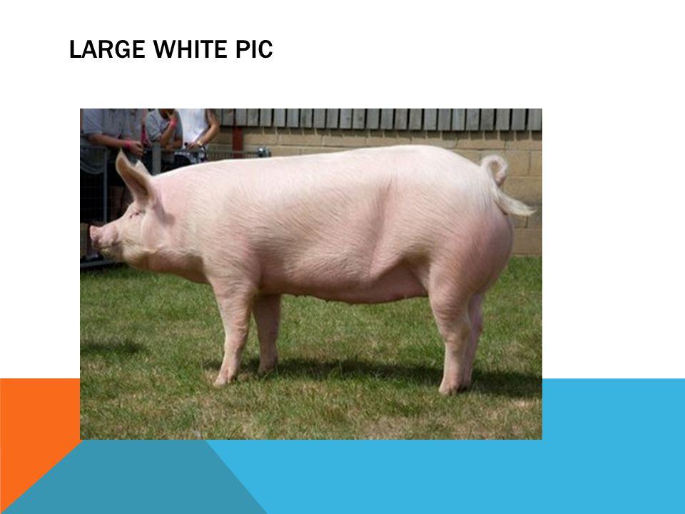 LARGE WHITE PIC