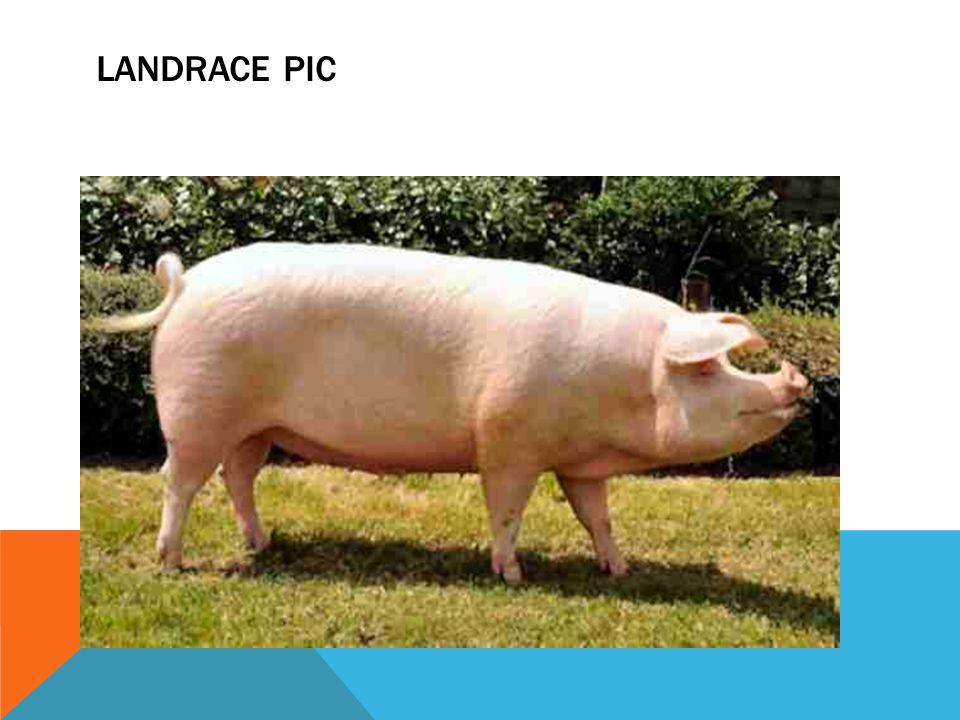 LANDRACE PIC