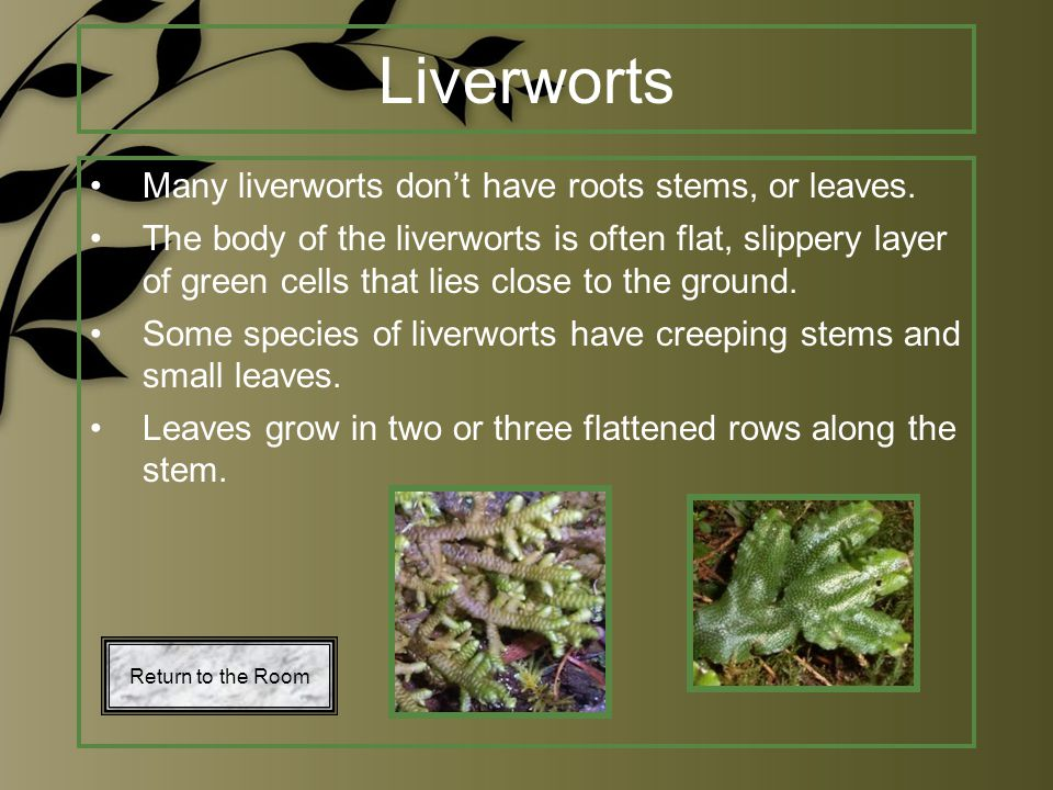 Liverworts Many liverworts don't have roots stems, or leaves. The body of the liverworts is often flat, slippery layer of green cells that lies close