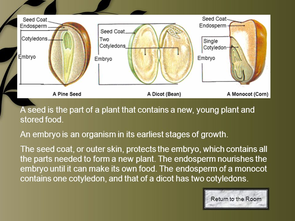 A seed is the part of a plant that contains a new, young plant and stored food. An embryo is an organism in its earliest stages of growth. The seed co