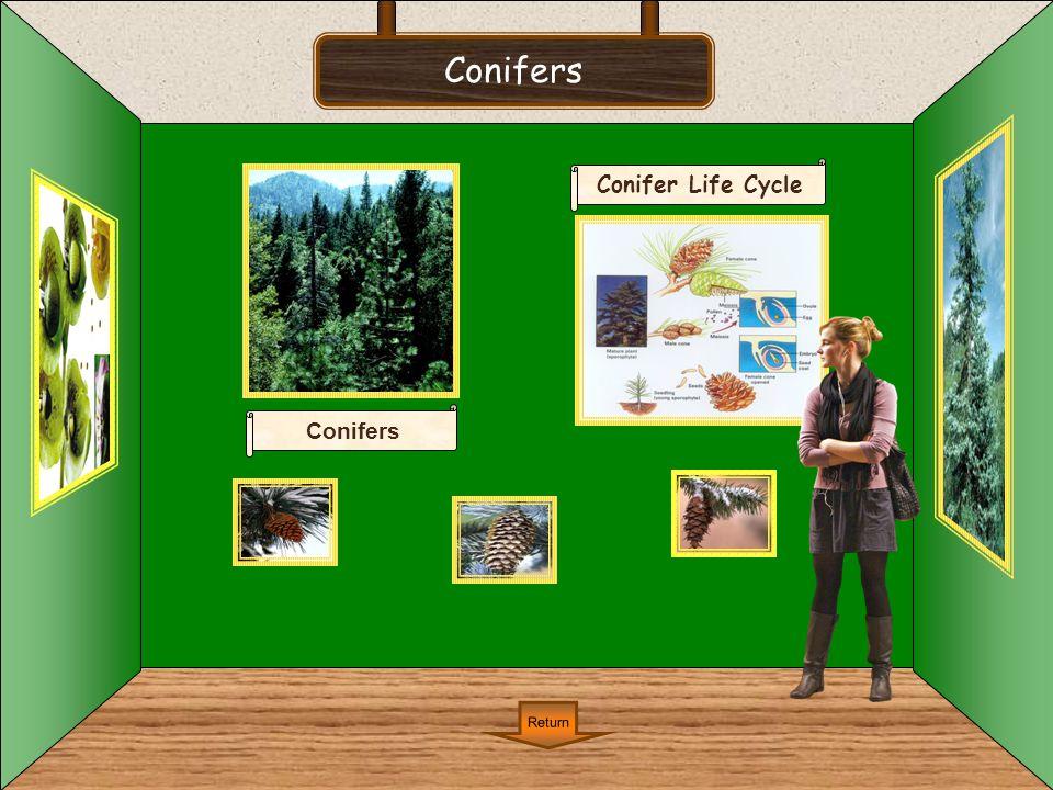 Conifers Return Conifer Life Cycle Conifers