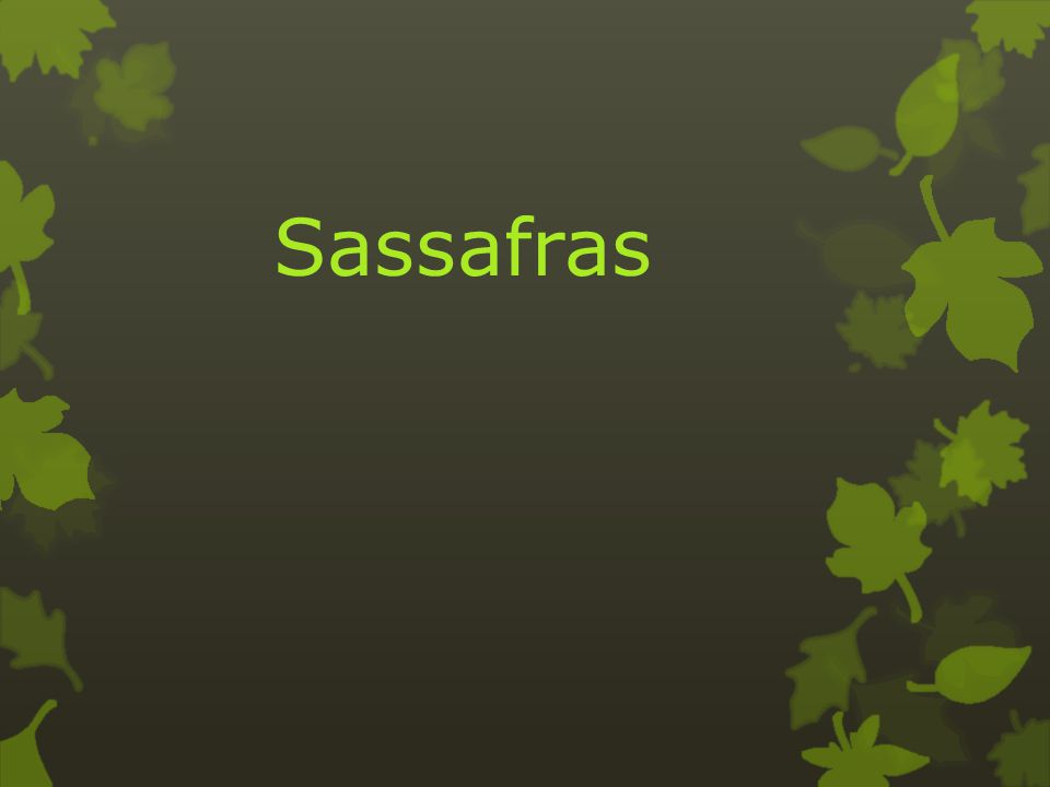 Sassafras albidum Food for birds, mammals