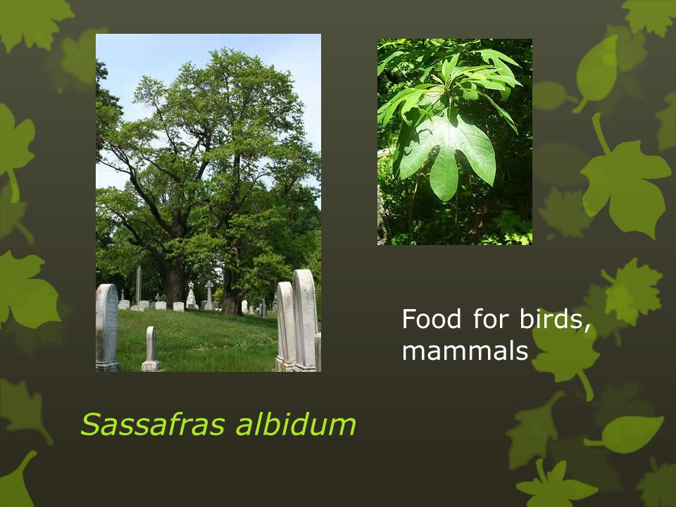 I.Alkaloids (affect nervous system) act as insecticides 1.