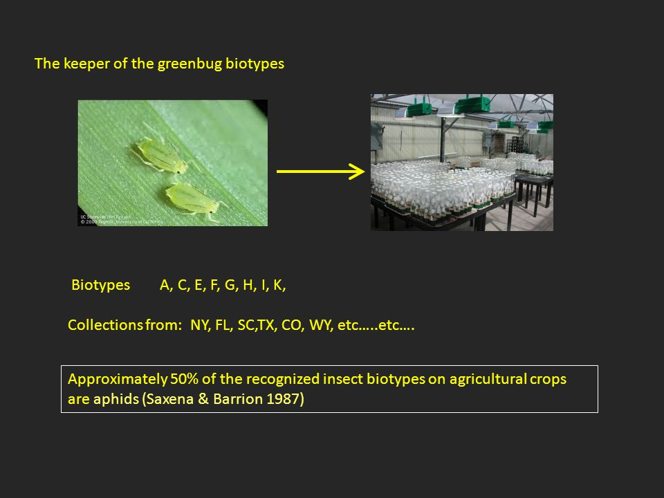 The keeper of the greenbug biotypes Biotypes A, C, E, F, G, H, I, K, Collections from: NY, FL, SC,TX, CO, WY, etc…..etc…. Approximately 50% of the rec