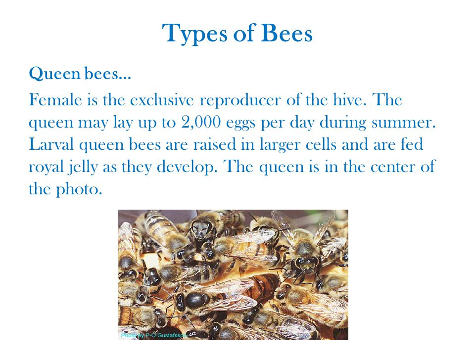 Types of Bees Queen bees... Female is the exclusive reproducer of the hive.