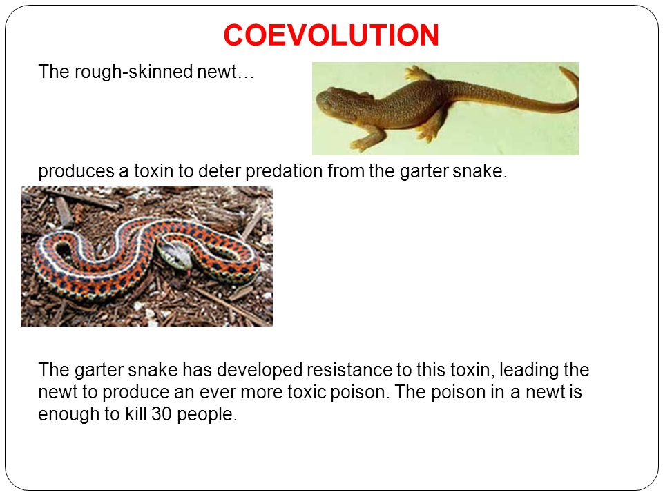 COEVOLUTION The rough-skinned newt… produces a toxin to deter predation from the garter snake.