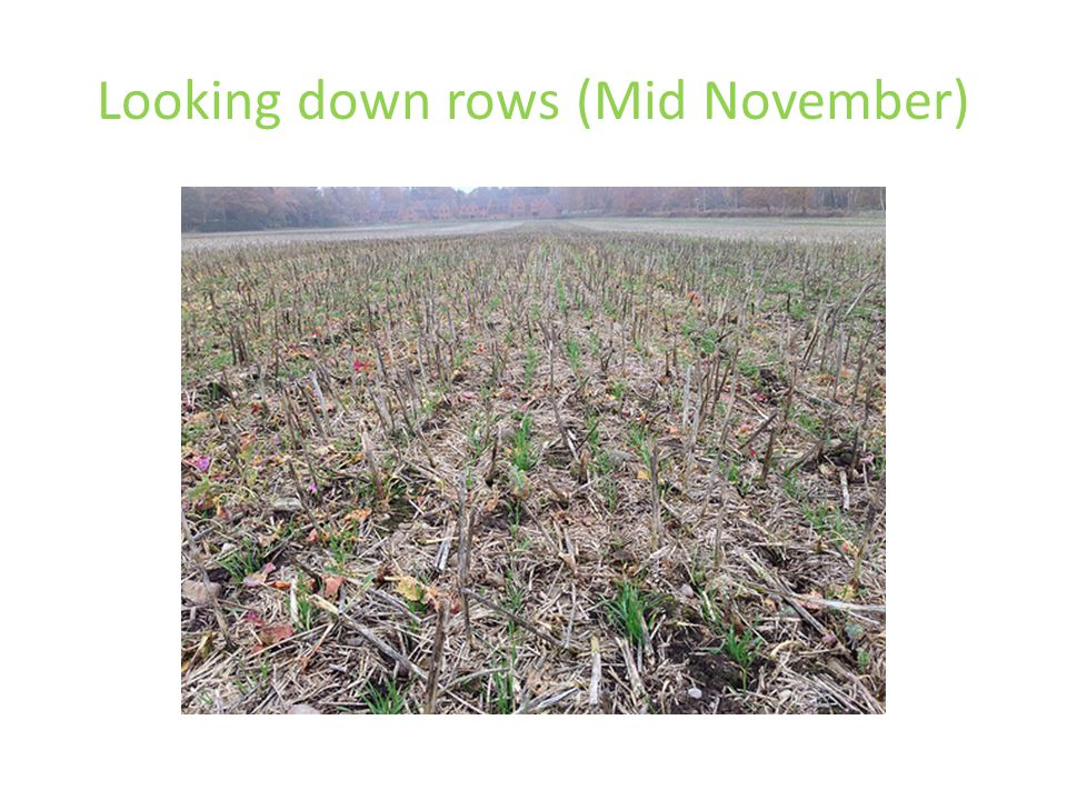 Looking down rows (Mid November)