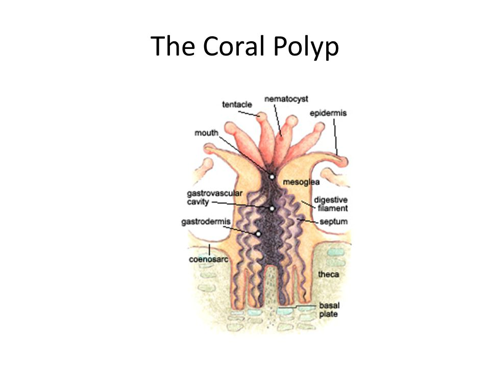 The Coral Polyp