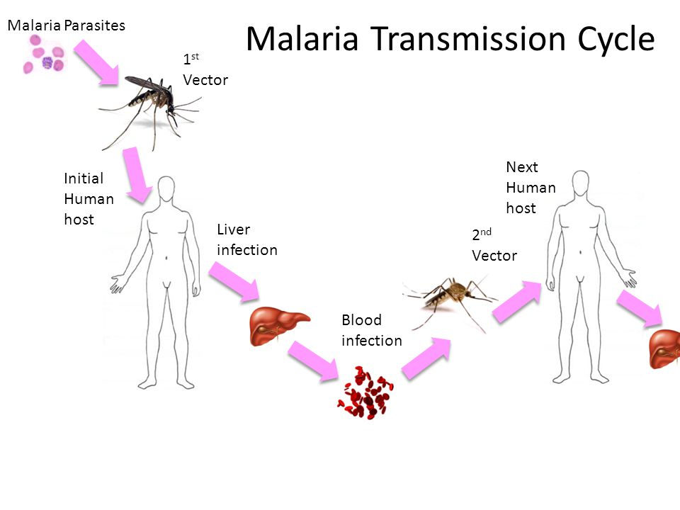 Malaria Parasites 1 st Vector Initial Human host Liver infection Blood infection 2 nd Vector Next Human host Malaria Transmission Cycle