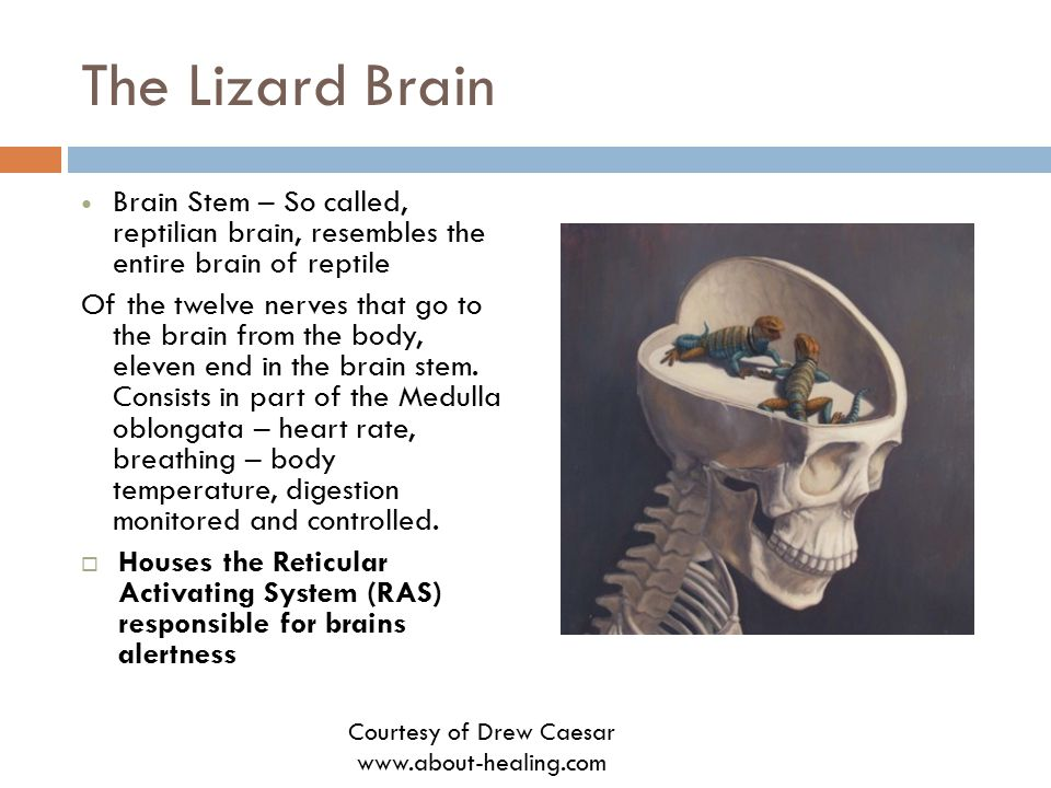 The Lizard Brain Brain Stem – So called, reptilian brain, resembles the entire brain of reptile Of the twelve nerves that go to the brain from the bod
