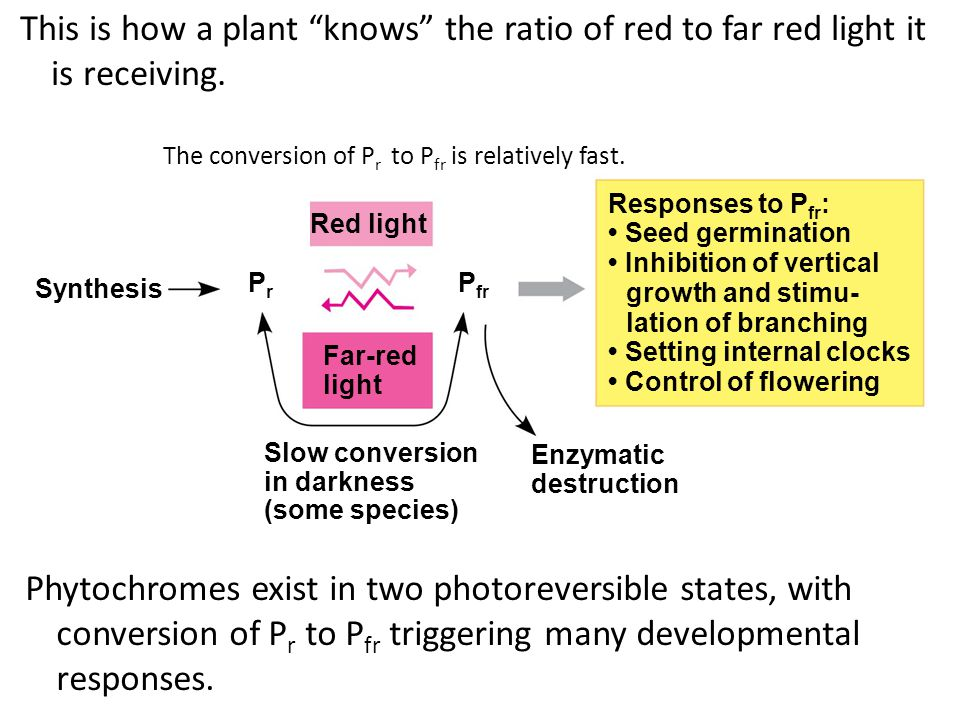 "light Enzymatic destruction Slow conversion in darkness (some species) PrPr Synthesis This is how a plant ""knows"" the ratio of red to far red light it"
