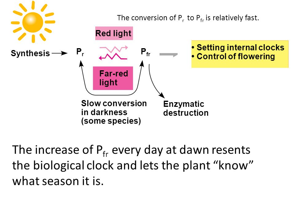 Far-red light Enzymatic destruction Slow conversion in darkness (some species) PrPr Synthesis Setting internal clocks Control of flowering Red light P