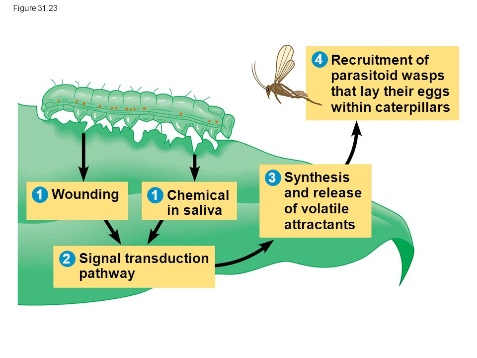 Figure 31.23 Wounding Chemical in saliva Signal transduction pathway Recruitment of parasitoid wasps that lay their eggs within caterpillars Synthesis