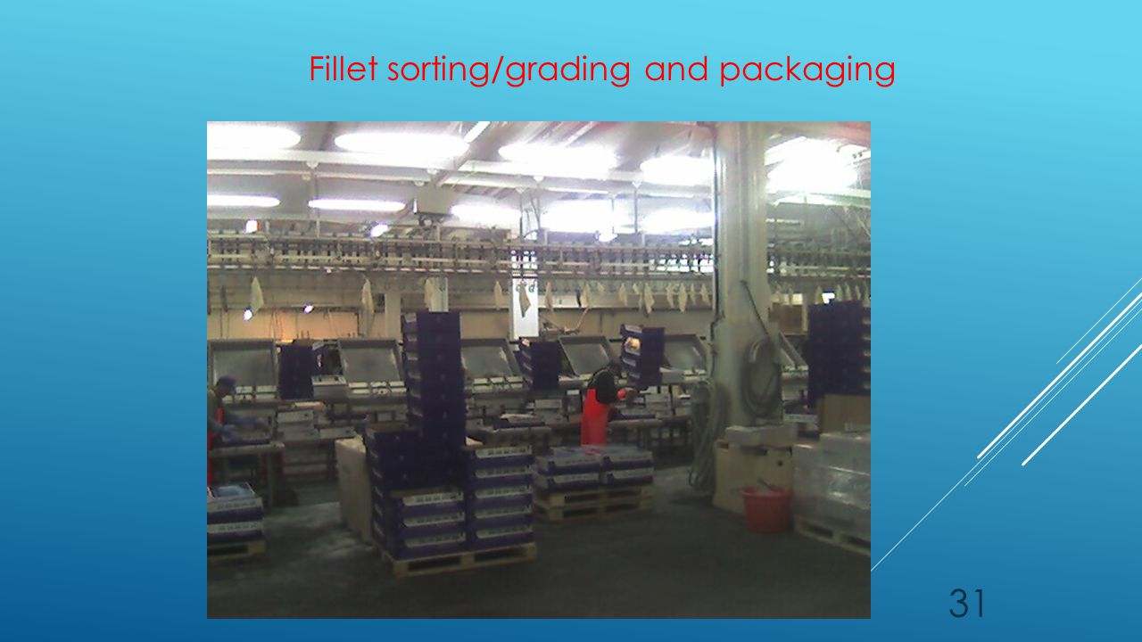 31 Fillet sorting/grading and packaging