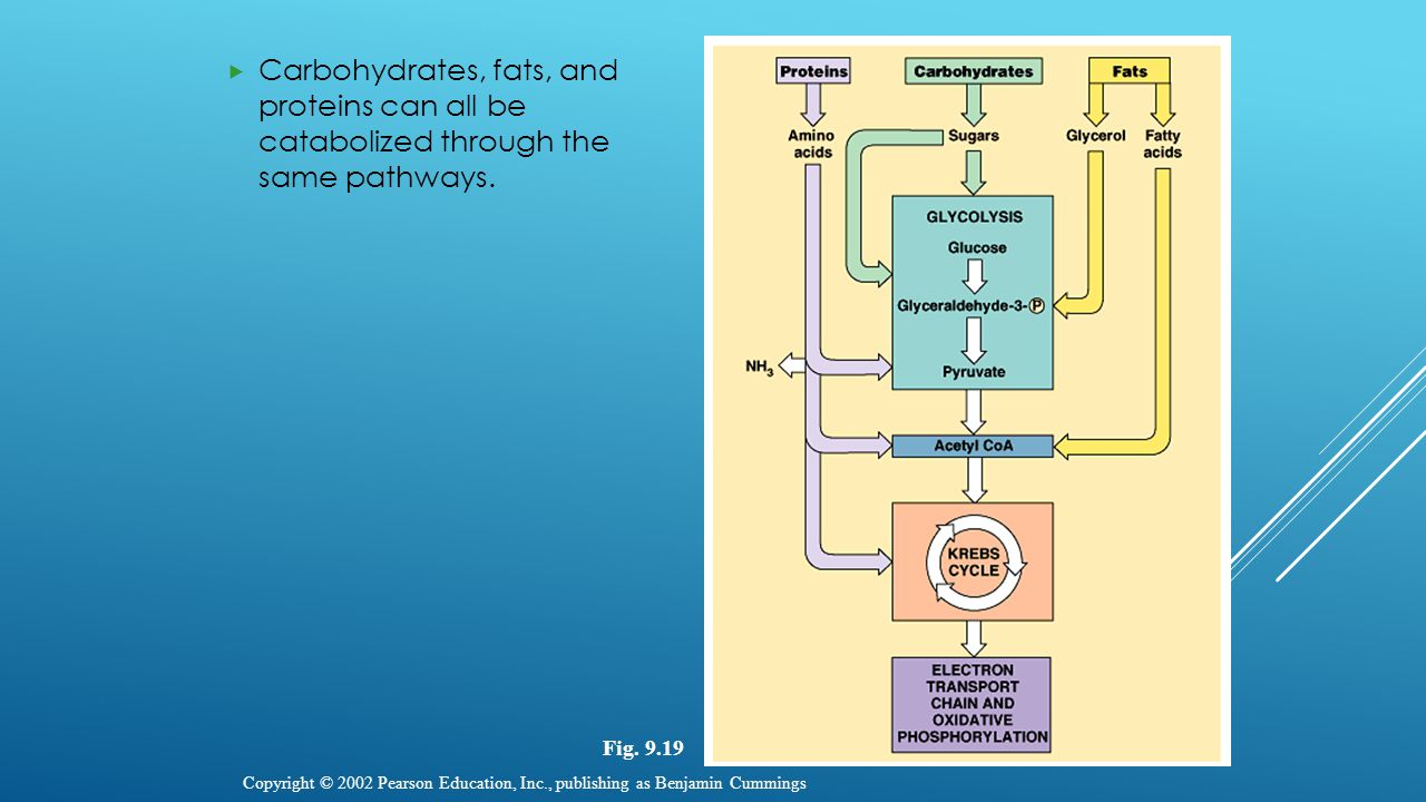  Carbohydrates, fats, and proteins can all be catabolized through the same pathways. Copyright © 2002 Pearson Education, Inc., publishing as Benjamin