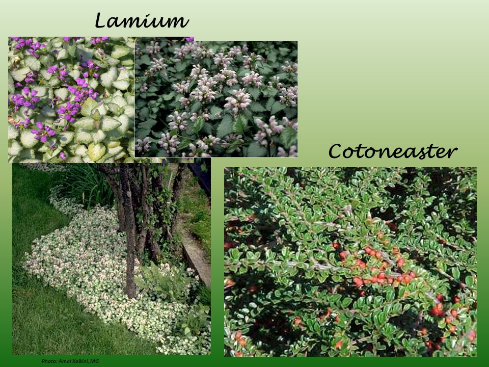 Lamium Cotoneaster Photo: Amol Kaikini, MG