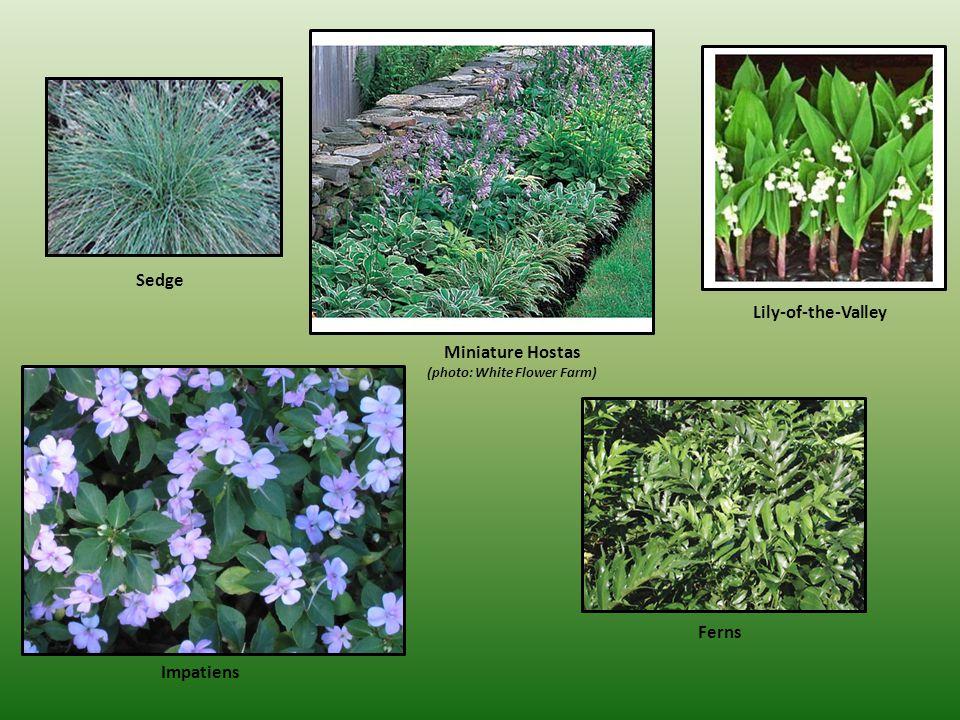 Sedge Miniature Hostas (photo: White Flower Farm) Lily-of-the-Valley Ferns Impatiens