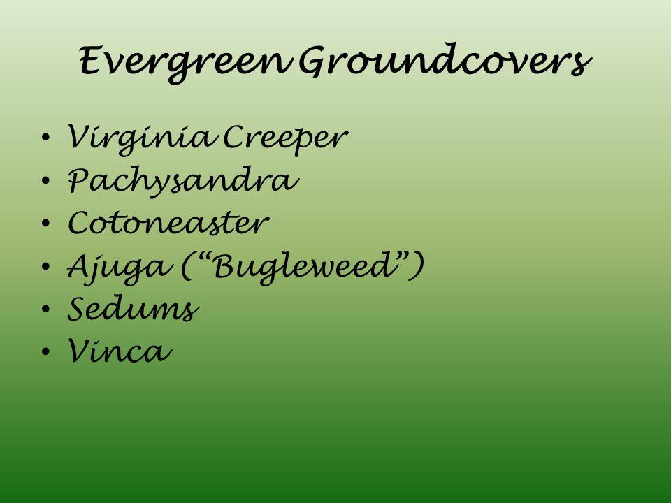 Evergreen Groundcovers Virginia Creeper Pachysandra Cotoneaster Ajuga ( Bugleweed ) Sedums Vinca