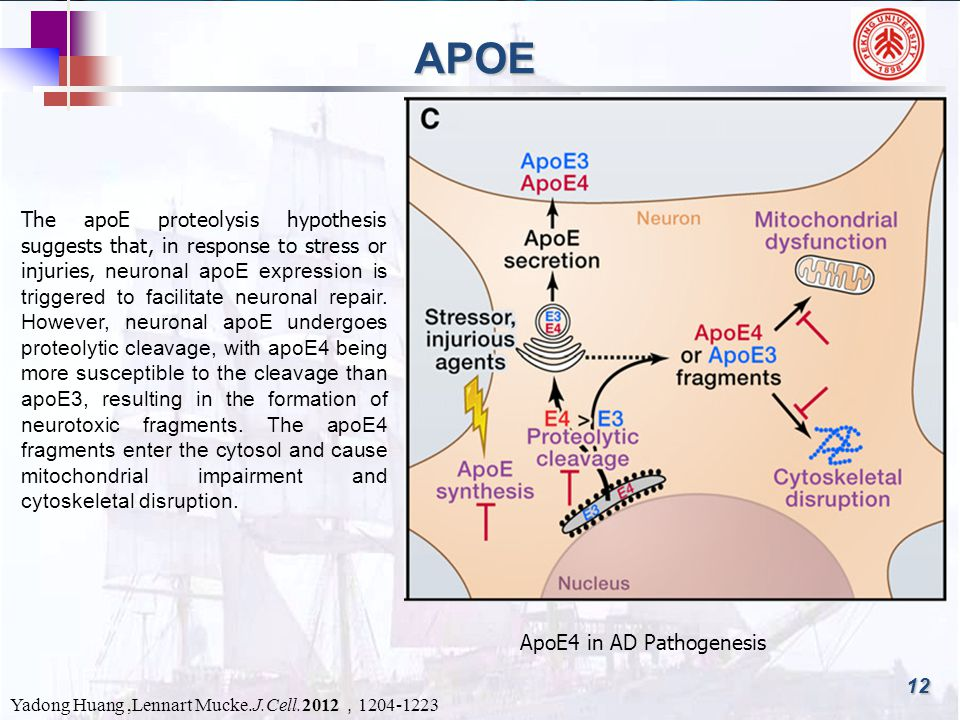 12 APOE ApoE4 in AD Pathogenesis Yadong Huang,Lennart Mucke.J.Cell.2012 , 1204-1223 The apoE proteolysis hypothesis suggests that, in response to stress or injuries, neuronal apoE expression is triggered to facilitate neuronal repair.