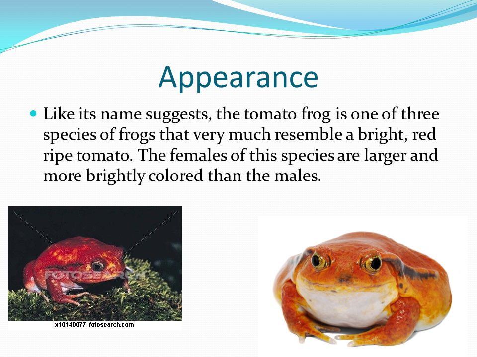 Appearance Like its name suggests, the tomato frog is one of three species of frogs that very much resemble a bright, red ripe tomato.