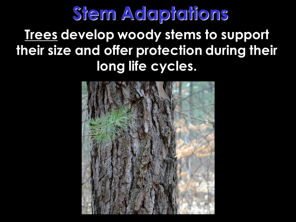 Trees develop woody stems to support their size and offer protection during their long life cycles.