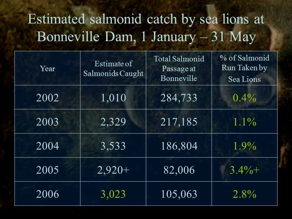 Estimated salmonid catch by sea lions at Bonneville Dam, 1 January – 31 May Year Estimate of Salmonids Caught Total Salmonid Passage at Bonneville % of Salmonid Run Taken by Sea Lions 20021,010284,7330.4% 20032,329217,1851.1% 20043,533186,8041.9% 20052,920+82,0063.4%+ 20063,023105,0632.8%