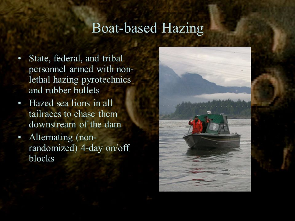 Boat-based Hazing State, federal, and tribal personnel armed with non- lethal hazing pyrotechnics and rubber bullets Hazed sea lions in all tailraces to chase them downstream of the dam Alternating (non- randomized) 4-day on/off blocks