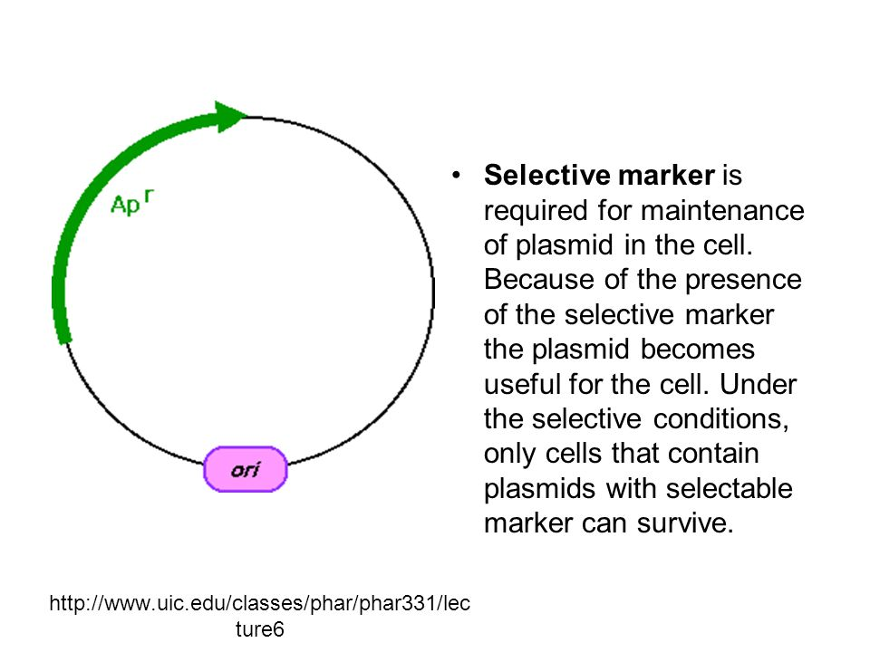http://www.uic.edu/classes/phar/phar331/lec ture6 Selective marker is required for maintenance of plasmid in the cell.