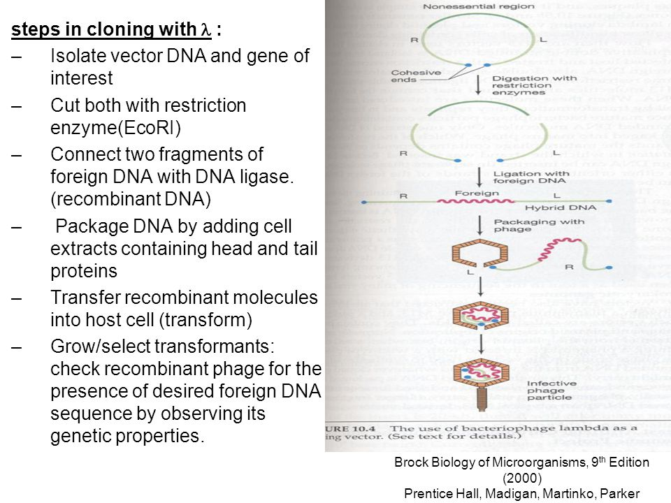 Brock Biology of Microorganisms, 9 th Edition (2000) Prentice Hall, Madigan, Martinko, Parker steps in cloning with : –Isolate vector DNA and gene of interest –Cut both with restriction enzyme(EcoRI) –Connect two fragments of foreign DNA with DNA ligase.