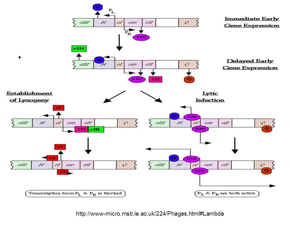 http://www-micro.msb.le.ac.uk/224/Phages.html#Lambda