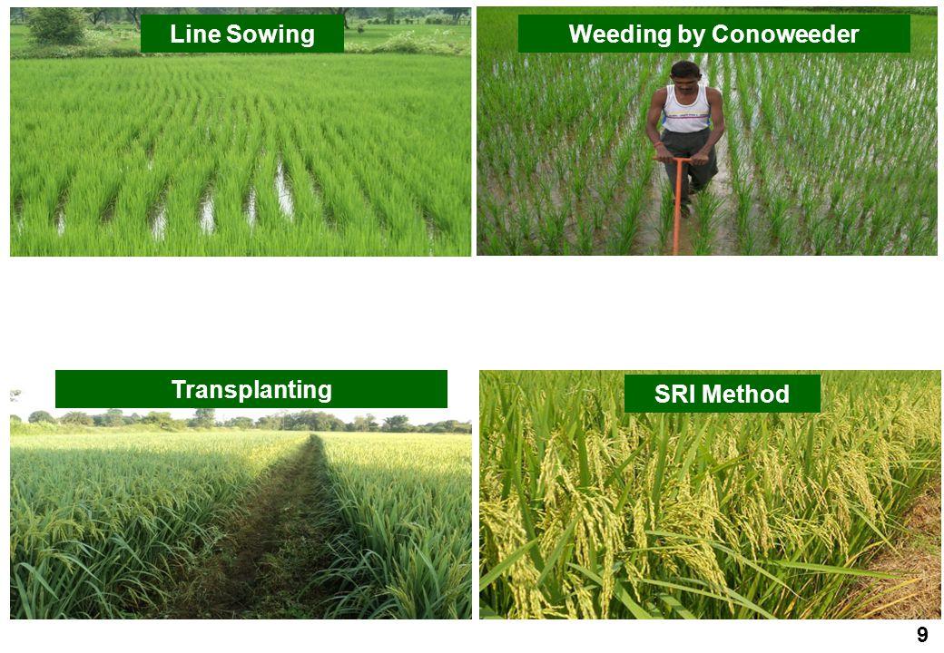 Line SowingWeeding by Conoweeder Transplanting SRI Method 9