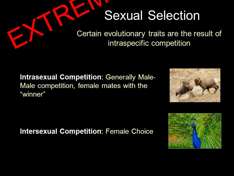 Sexual Selection Certain evolutionary traits are the result of intraspecific competition Intrasexual Competition: Generally Male- Male competition, female mates with the winner Intersexual Competition: Female Choice EXTREME!!!