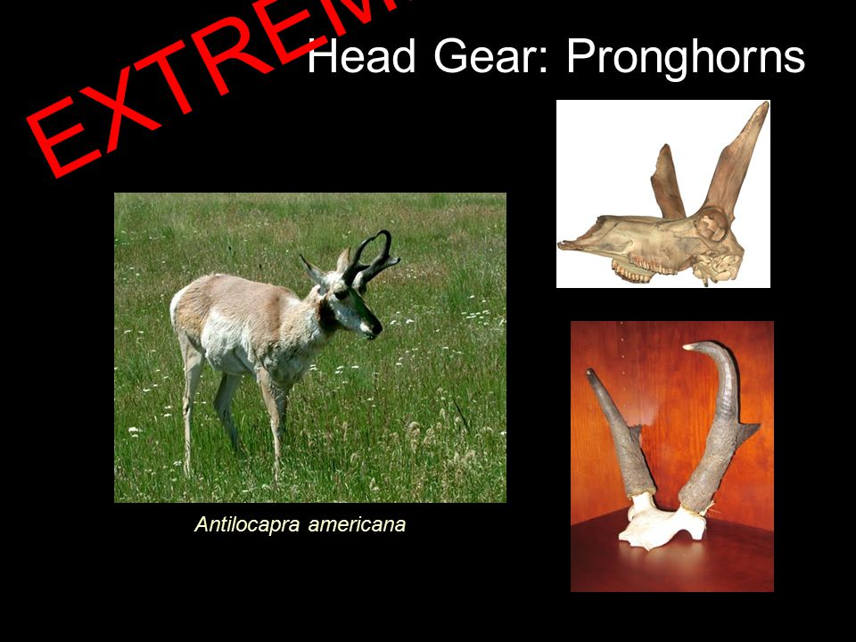 Head Gear: Pronghorns Antilocapra americana EXTREME!!!