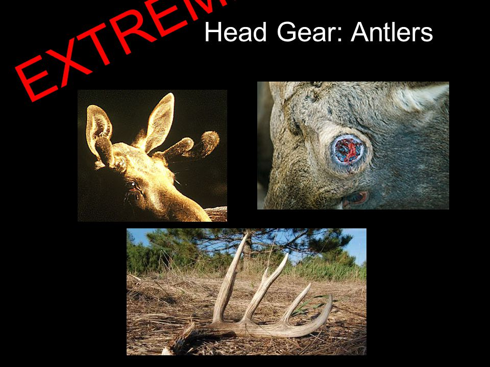 Head Gear: Antlers EXTREME!!!