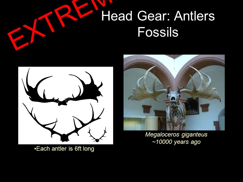 Head Gear: Antlers Fossils Megaloceros giganteus ~10000 years ago Each antler is 6ft long EXTREME!!!