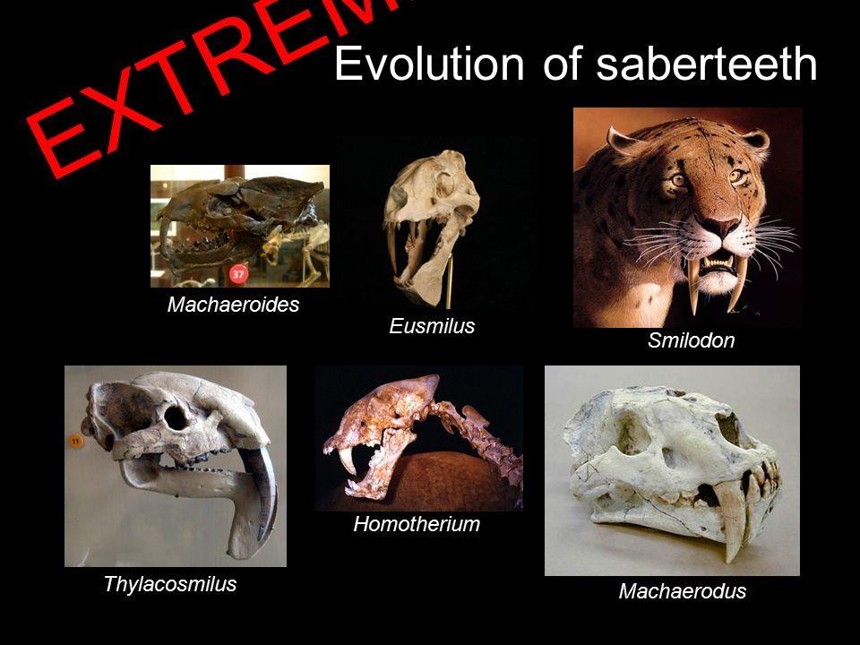 Evolution of saberteeth Thylacosmilus Smilodon Eusmilus Machaerodus Machaeroides Homotherium EXTREME!!!