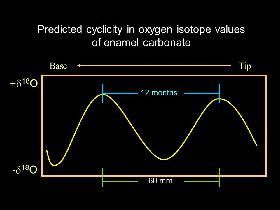+  18 O -  18 O TipBase 12 months Predicted cyclicity in oxygen isotope values of enamel carbonate 25mm 85mm 60 mm