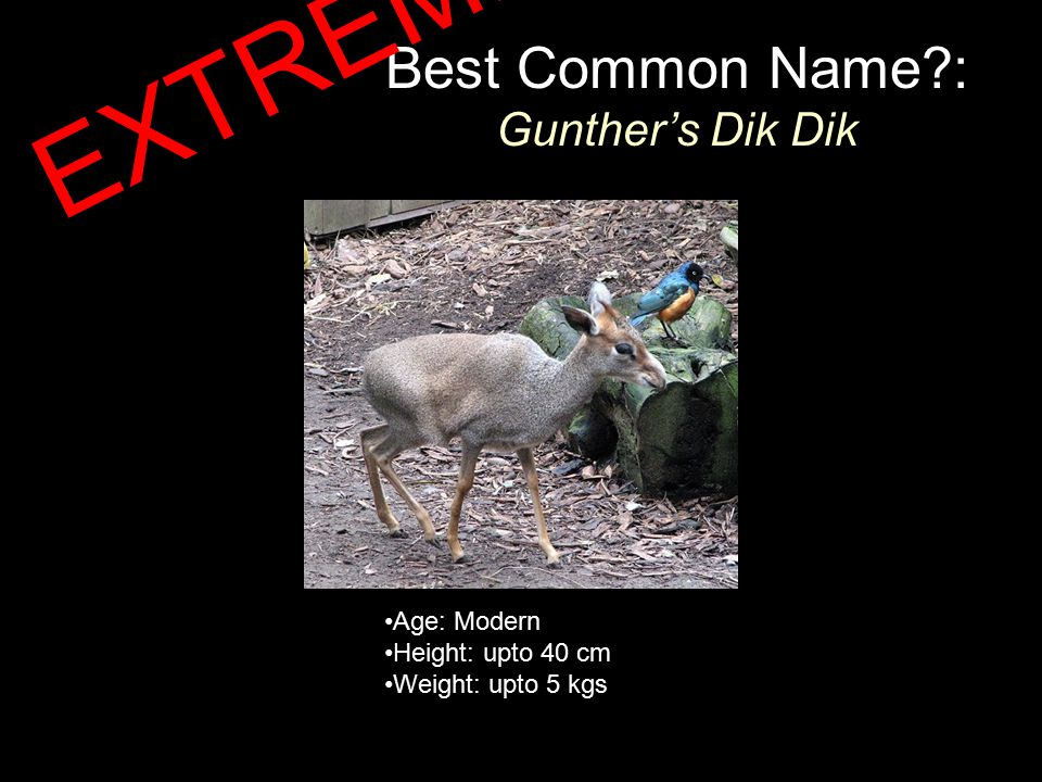 Best Common Name?: Gunther's Dik Dik Age: Modern Height: upto 40 cm Weight: upto 5 kgs EXTREME!!!