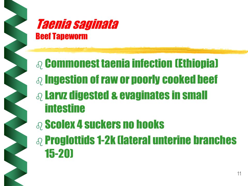 11 Taenia saginata Beef Tapeworm b Commonest taenia infection (Ethiopia) b Ingestion of raw or poorly cooked beef b Larvz digested & evaginates in sma